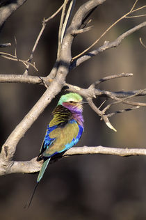 Lilac-Breasted Roller by Wolfgang Kaehler