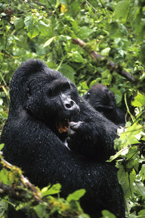 Silverback Sitting In Rain by Wolfgang Kaehler