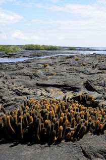 Lava Cacti Growing on Lava Rock by Wolfgang Kaehler