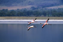 Flamingos In Flight by Wolfgang Kaehler