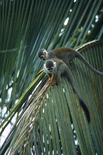 Squirrel Monkeys In Upper Canopies of the Rain Forest by Wolfgang Kaehler
