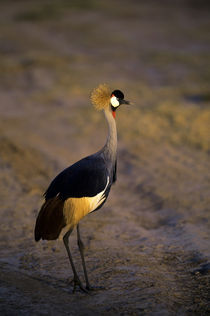 Crown Crane by Wolfgang Kaehler