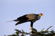 Secretary Bird In Tree by Wolfgang Kaehler