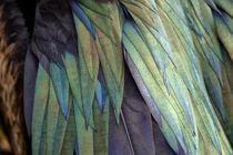 Close-Up of Iridesant Feathers von Wolfgang Kaehler