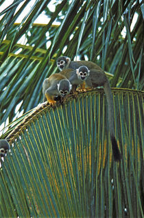 Squirrel Monkeys In Rain Forest Canopy by Wolfgang Kaehler