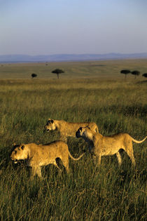 Pride of Lions Walking Through Grass by Wolfgang Kaehler