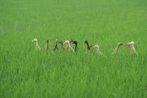 Ducks In Rice Field by Wolfgang Kaehler
