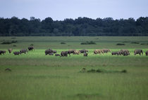 Elephant Herd In Grassland by Wolfgang Kaehler