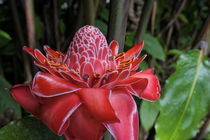 Torch Ginger Flower by Wolfgang Kaehler