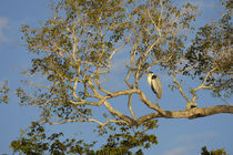 Cocoi Heron (Ardea Cocoi) Roostng In Tree von Wolfgang Kaehler