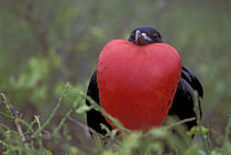 Male Frigate Bird with Inflated Throat Pouch by Wolfgang Kaehler
