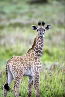 Masai Giraffe Baby Only a Few Days Old by Wolfgang Kaehler