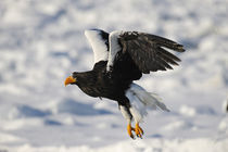 Steller'S Sea Eagle (Haliaeetus Pelagicus) Landing on Pack Ice by Wolfgang Kaehler