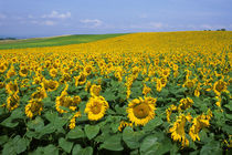 Sunflower Field by Wolfgang Kaehler