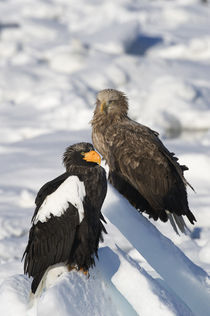White-Tailed Sea Eagle (Haliaeetus Albicilla) and Steller'S Sea Eagle (Haliaeetus Pelagicus) Sitting on Pack Ice by Wolfgang Kaehler