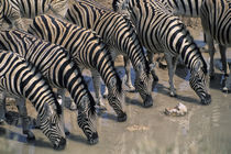Burchell'S Zebras Drinking at Waterhole by Wolfgang Kaehler