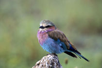 Lilac-Breasted Roller Sitting on Rock by Wolfgang Kaehler
