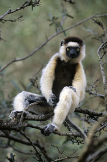 Verreaux Sifaka Lemur In Tree by Wolfgang Kaehler