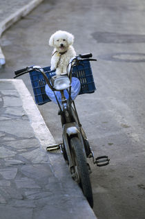Poodle on Bicycle by Wolfgang Kaehler