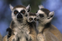 Ring-Tailed Lemurs with Baby by Wolfgang Kaehler