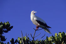 Red-Footed Booby Sitting on Mangrove von Wolfgang Kaehler