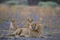 Lioness with Cubs by Wolfgang Kaehler