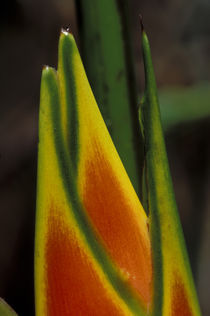 Close-Up of Heliconia Flower by Wolfgang Kaehler