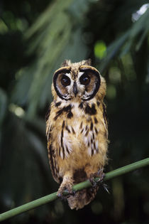 Striped Owl Pseudoscops Clamator by Wolfgang Kaehler
