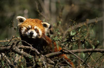 Red Panda (Ailurus Fulgens) In Tree by Wolfgang Kaehler