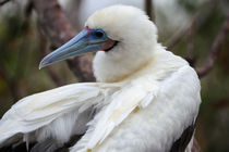 Red-Footed Booby (White Phase) Perched In Tree by Wolfgang Kaehler