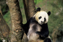 Giant  Panda (Ailuropoda Melanoleuca) at Tree by Wolfgang Kaehler