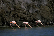 Greater Flamingos Feeding In Lagoon von Wolfgang Kaehler