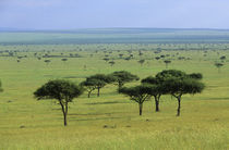 Grassland Landscape Withacacia Trees by Wolfgang Kaehler