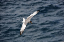 Swallow-Tailed Gull (Creagrus Furcatus) In Flight by Wolfgang Kaehler