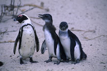 Jackass Penguin with Juveniles by Wolfgang Kaehler