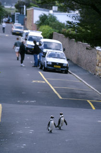 Jackass Penguins on Road by Wolfgang Kaehler