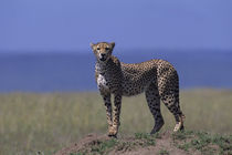 Cheetah on Anthill Overlooking Grass Plain by Wolfgang Kaehler