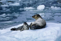 Mother with Pup on Ice Floe von Wolfgang Kaehler