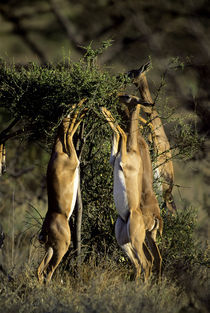 Females Feeding on Acacia Bush by Wolfgang Kaehler