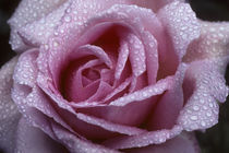 Pink Rose with Raindrops by Wolfgang Kaehler