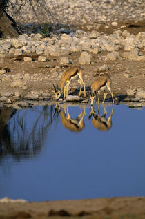 Springboks Reflecting In Waterhole by Wolfgang Kaehler