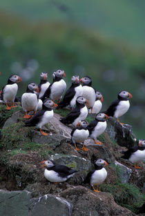 Atlantic Puffins by Wolfgang Kaehler