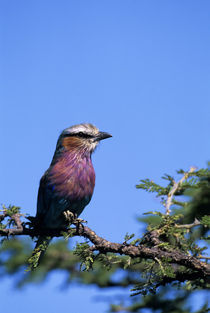 Lilac-Breasted Roller In Tree by Wolfgang Kaehler
