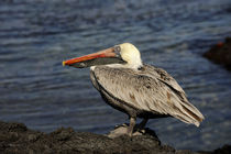 Brown Pelican by Wolfgang Kaehler