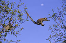 Ring-Tailed Lemurs Jumping From Tree to Tree by Wolfgang Kaehler