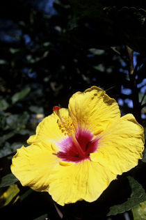 Yellow Hibiscus by Wolfgang Kaehler