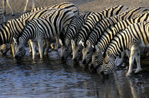 Zebras Drinking at Waterhole by Wolfgang Kaehler
