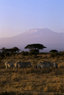 Zebras with Mt. Kilimanjaro In Background by Wolfgang Kaehler