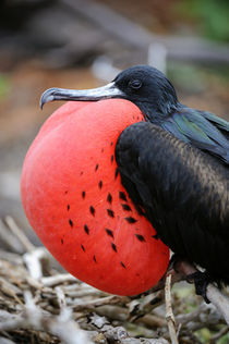 Great Frigate Bird Male with Inflated Throat Pouch by Wolfgang Kaehler