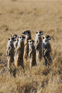 Group of Meerkat Warming Up In Morning Sunshine von Wolfgang Kaehler